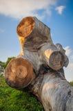drzewo się Obraz Royalty Free