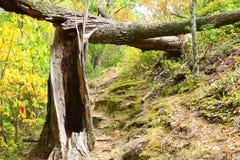 drzewo się Obrazy Royalty Free