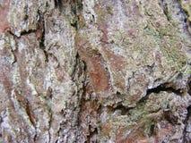 drzewo sosny barkentyny tekstury tło Zdjęcia Royalty Free