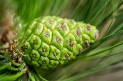 Drzewo sosny rożek Zdjęcia Royalty Free