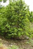 Drzewo Soursop Frouit fotografia stock