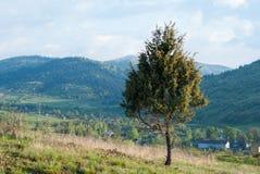 Drzewo & x28; Spruce& x29; na tle góry Drzewo na tle górska wioska samotne drzewo Zdjęcia Royalty Free