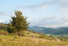 Drzewo & x28; Spruce& x29; na tle góry Drzewo na tle górska wioska samotne drzewo Obraz Stock