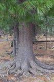 Drzewo Syberyjski cedr Zdjęcia Stock
