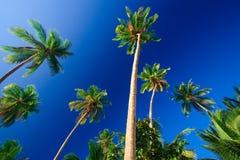 drzewo tropikalne palm raju Zdjęcie Stock