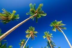 drzewo tropikalne palm raju Obrazy Stock