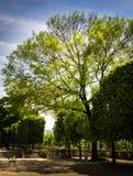 Drzewo Tuileries ogród Fotografia Royalty Free