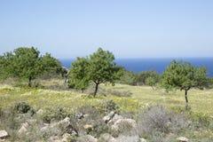 Drzewo w łące blisko Hort zatoczki, Ibiza Fotografia Stock