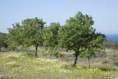 Drzewo w łące blisko Hort zatoczki, Ibiza, Zdjęcia Stock