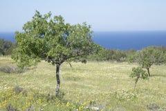 Drzewo w łące blisko Hort zatoczki, Ibiza Obraz Stock