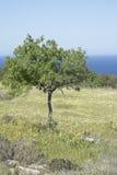 Drzewo w łące blisko Hort zatoczki, Ibiza Obraz Royalty Free