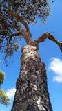 Drzewo w halnym Carmel zdjęcia stock
