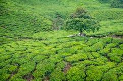 Drzewo w Herbacianej plantaci w Cameron średniogórzach Obrazy Stock
