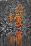 Drzewo w jesień kolorach - czarny i biały las Zdjęcia Royalty Free