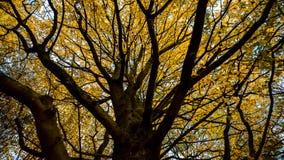 Drzewo w jesieni z żółtymi liśćmi, Amsterdam Holandia zdjęcia stock