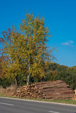 Drzewo w jesieni z powalać drzewnymi bagażnikami przeciw niebieskiemu niebu Zdjęcia Stock