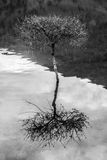 Drzewo w jeziorze Obrazy Royalty Free