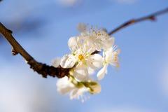 Drzewo w kwiacie, obrazy royalty free