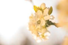 Drzewo w kwiacie, zdjęcia stock