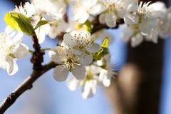 Drzewo w kwiacie, fotografia royalty free