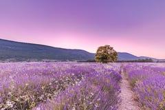 Drzewo w lawendy polu przy zmierzchem w Provence, Francja obrazy stock