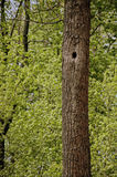 Drzewo w lesie z wydrążeniem Fotografia Royalty Free