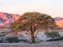 Drzewo w Namib-Naukluft parku narodowym, Namibia, Afryka, przy zmierzchem Fotografia Stock