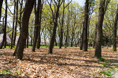 Drzewo w parku wiele suchych liście na ziemi przed jesienią Obrazy Royalty Free
