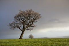 Drzewo w polu Obrazy Stock