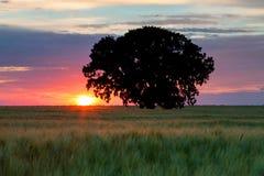Drzewo w polu Zdjęcie Stock