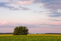 Drzewo w polu przeciw tłu kwitnienie gwałt i sk fotografia stock