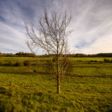 Drzewo w polu w zimie z dramatycznymi niebami Obrazy Royalty Free