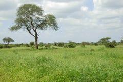 Drzewo w Savana Fotografia Royalty Free
