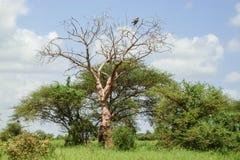 Drzewo w Savana Zdjęcia Stock