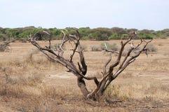 Drzewo w sawannie Fotografia Royalty Free