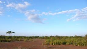 Drzewo w sawannie w Tanzania zdjęcie stock