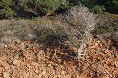 Drzewo w skale Zdjęcia Royalty Free