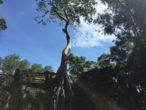 Drzewo w Ta Prohm Obraz Royalty Free