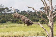 Drzewo w zalewającym terenie w Kruger parku, Południowa Afryka Fotografia Royalty Free