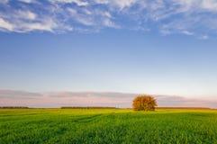 Drzewo w zielonym polu banatka na tle niebieskie niebo z chmurami obraz royalty free