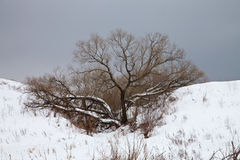 Drzewo w zima Zdjęcie Royalty Free
