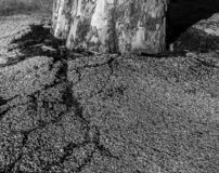 Drzewo walczy z asfaltowym i krakingowym ja fotografia royalty free