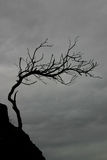 drzewo weathersa Obrazy Royalty Free