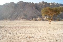 drzewo więdnący Zdjęcie Royalty Free