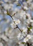 drzewo wiśniowe Zdjęcia Royalty Free