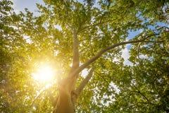 Drzewo wierzchołek w sezonie jesiennym z słońcem fotografia stock