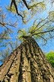 Drzewo wierzchołki w lesie nad pięknym niebieskim niebem miasto dni drogi ramenskoye Moscow najbliższa park do sunny wiosna Selek Zdjęcia Royalty Free
