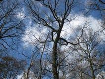 Drzewo wierzchołki na Pogodnym zima dniu obraz royalty free