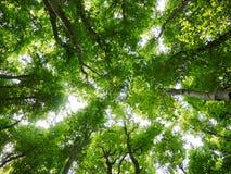 Drzewo wierzchołki w lesie Fotografia Royalty Free
