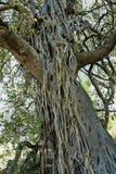 Drzewo wykładał z lianą, gorongosa park narodowy, Mozambik fotografia stock